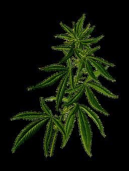 cannabis-2028244__340